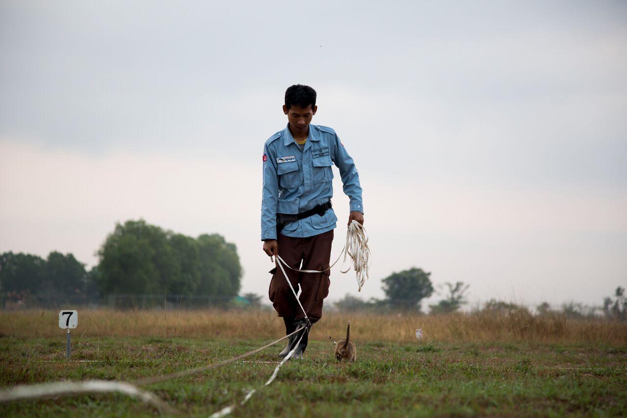landmine sniffing rats