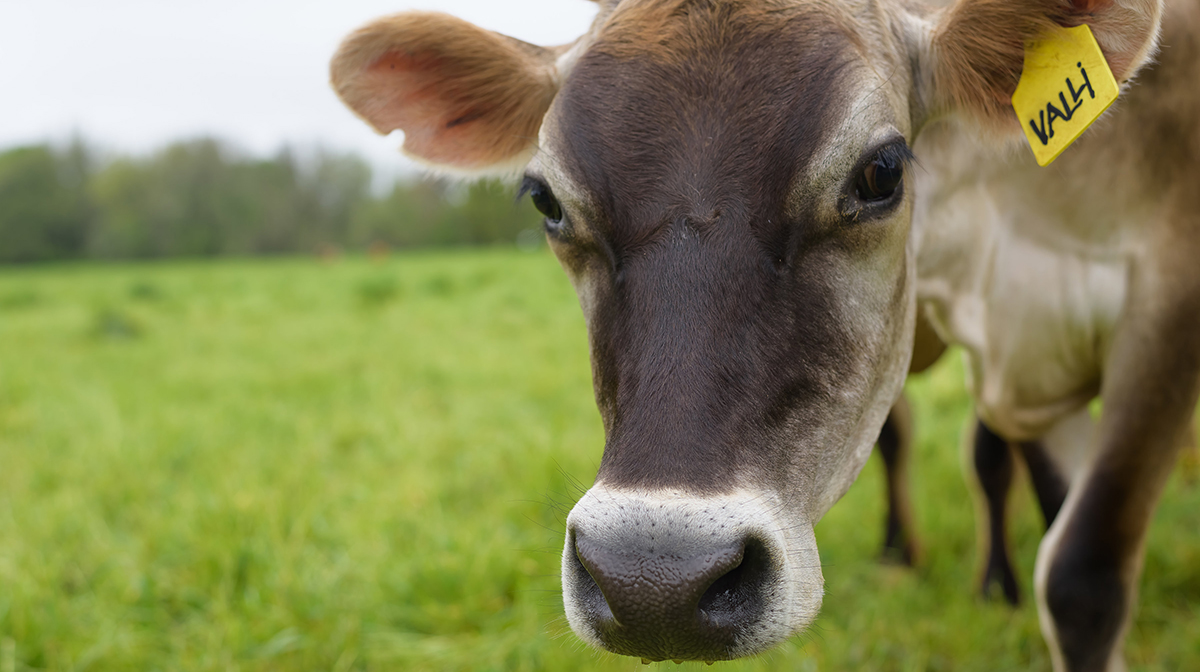The true cost of cattle: A Street Roots investigation