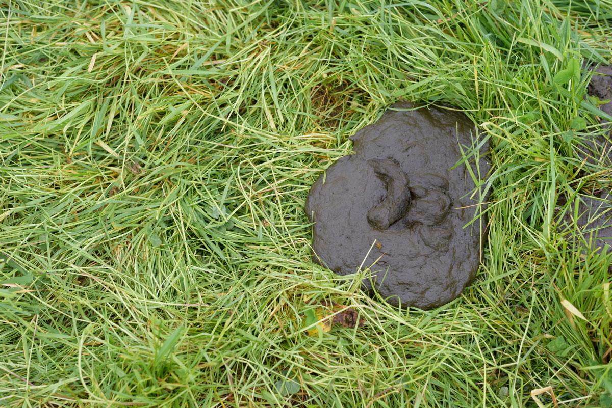 Cattle poop