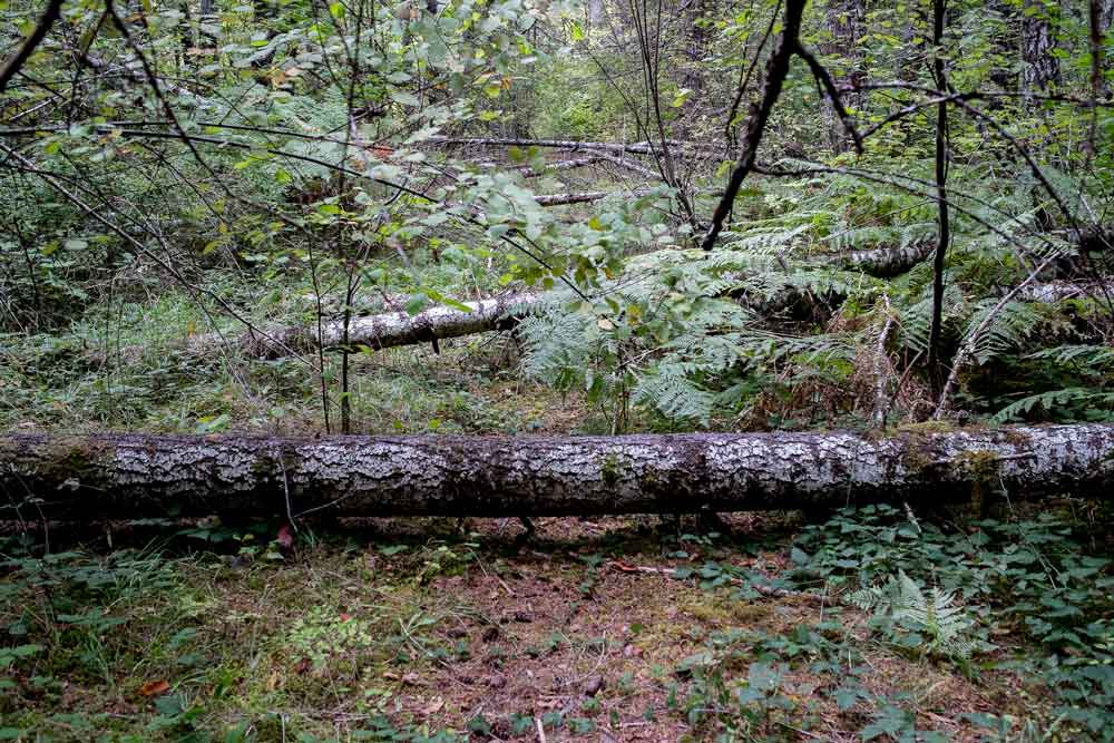 Old logging road in Grove Thin