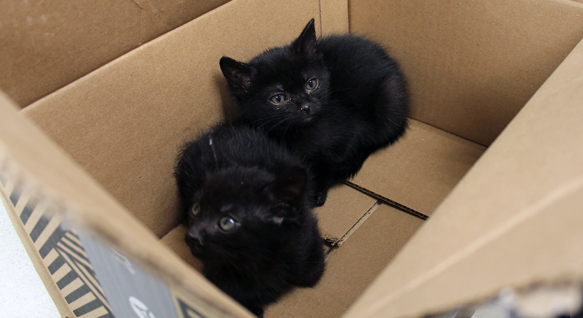 Kittens in a box at Multnomah County Animal Services Shelter