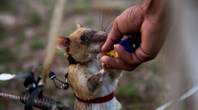 mine sniffing rat eats banana