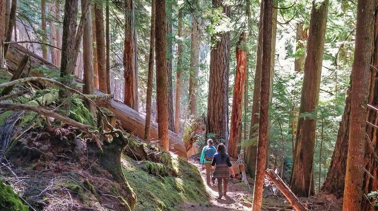 Hikers in old-growth forest