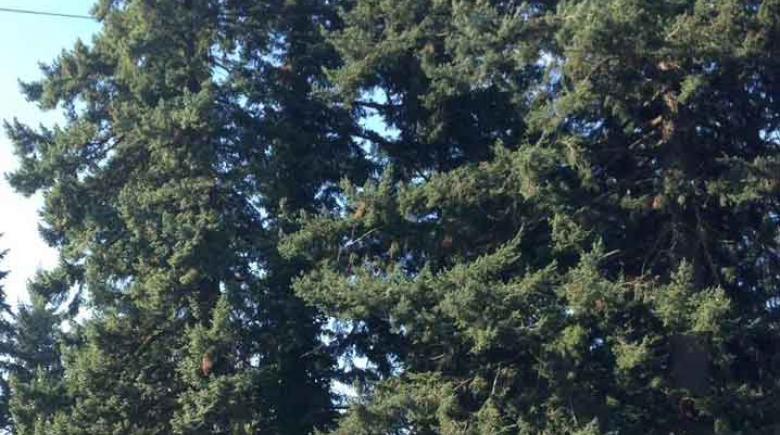 Threatened Douglas firs