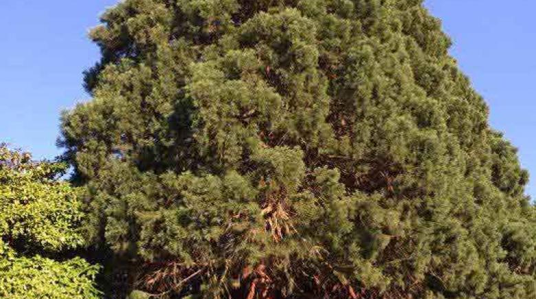 Eastmoreland sequoias